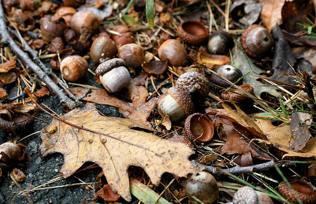 Acorns_falling_onto_the_ground