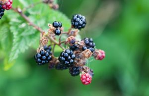 blackberry-on-bush-macro